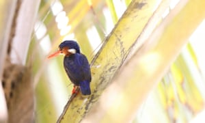Príncipe white-bellied kingfisher