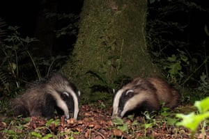 European badgers