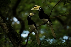 Oriental pied hornbills sit in a tree near a forest cleared to make way for a public housing estate in Singapore.