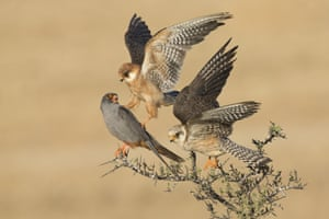 Birds winner : <em>The company of three</em> by Amir Ben-Dov (Israel). <br> Red-footed falcons are social birds, migrating in large flocks from central and eastern Europe to southern and southwestern Africa. Six days watching these three revealed a subtle interaction: one female nudged the male with her talon as she flew up to make space on the branch for the other female. Exactly what the relationship was between the three birds remains a mystery.