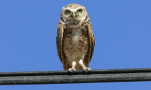 Grassland birds, such as the burrowing owl, were hit especially hard.