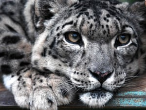 Snow Leopard at the NABU centre (Nature and Biodiversity Conservation Union), a German organization that aims at reintroducing the panther and fighting against poaching, near the Issyk Kul lake, in the outskirts of Semenovka village, some 330 kilometers southeast of Bishkek, Kyrgyzstan