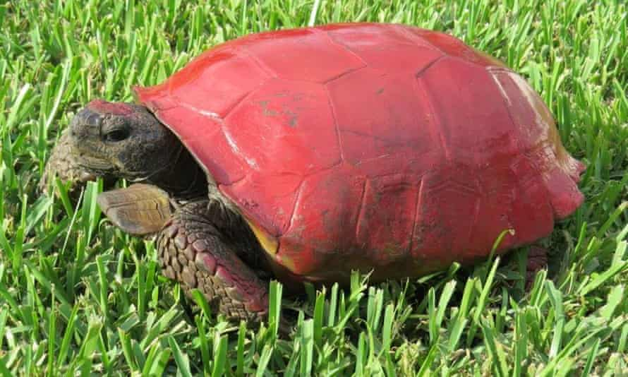 An illegally painted tortoise.
