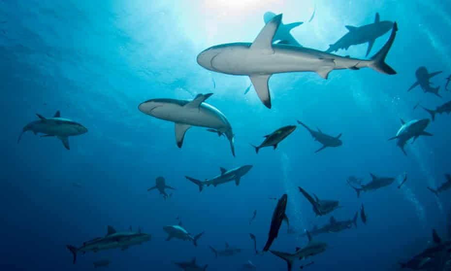 'New people will paddle out at our beach and they'll say: are there many sharks around here?': sharks at Osprey Reef.