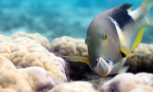 An orange-dotted tuskfish holds a clam in its formidable jaws on the Great Barrier Reef, Australia.