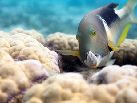 An orange-dotted tuskfish holds a clam in its jaws on the Great Barrier Reef, Australia.