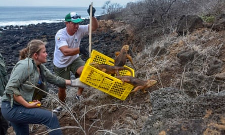 Some of the 1,436 iguanas introduced to Santiago island in the Galapagos Islands on Monday.