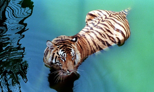 Poacher suspected of killing 70 Bengal tigers captured after 20-year pursuit