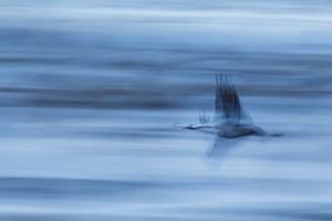 Common Crane Grus grus.