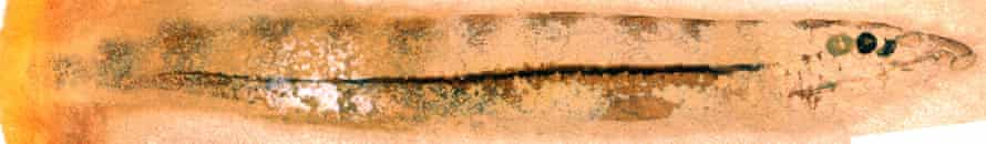 The fossil lamprey Mayomyzon pieckoensis. The eyes are the two dark circles on the right-hand side and are so well-preserved the retina and lens can be seen in high magnification. Its head terminates in an oral sucker: today lamprey use this to cling on to larger fish and suck their blood. Dark-coloured stripes along its back can also be seen.