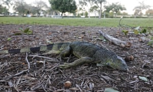 A stunned iguana lies in the grass at Cherry Creek Park in Oakland Park, Florida, on Wednesday.