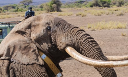 Elephant Tim wakes up with a tracking collar round his neck after the successful operation to fit the collar in Amboseli, Kenya, on 10 September 2016.