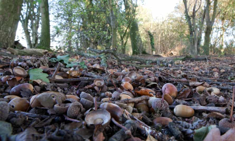 Oaks can have unpredictable breeding cycles, creating a bumper acorn crop one year and conserving energy the next.