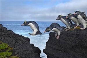 Penguins jumping across rocks.