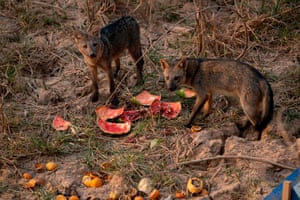 Foxes eating watermelons left by animal protectors.