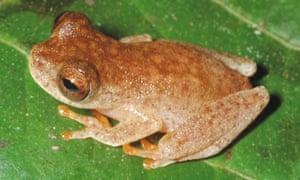 The bat frog Dendropsophus ozzyi.