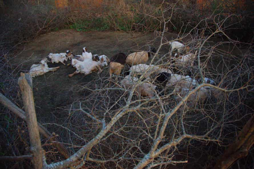 Goats in a traditional enclosure