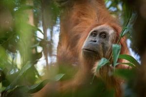 Sumatra, Indonesia Pongo tapanuliensis