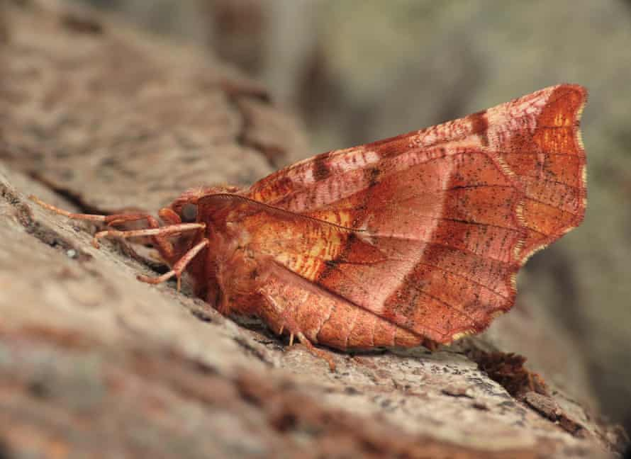 An early thorn moth in a Weymouth garden on 1 March.