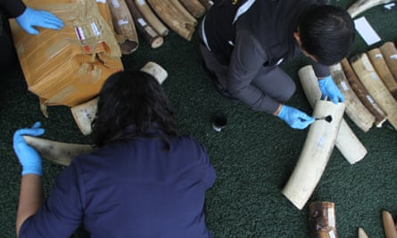 An official checks for fingerprints and DNA on the 789kg of smuggled elephant tusks at Koh Samui airport from Africa