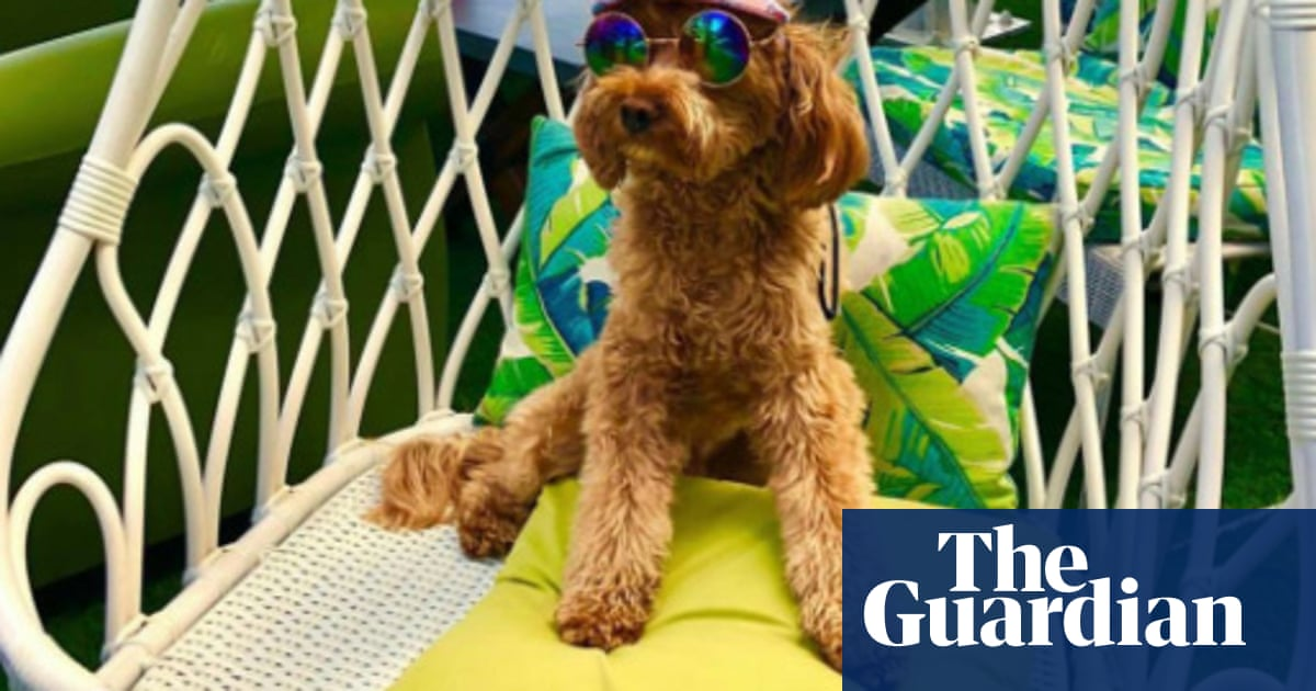 Dogged battle under way for custody of Instagram-famous cavoodle Oscar