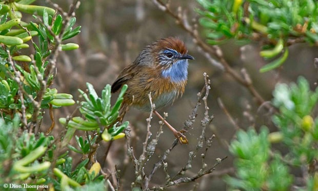 Conservationists say rocket launch site could push endangered southern emu-wren to extinction