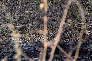 A Javanese leopard in the Baluran national park in Situbondo, Eastern Java island