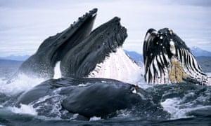 Humpback whales (Megaptera novaeangliae) feeding In Alaska.