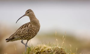 Under threat … the Curlew.