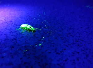 Ecology in action student winner: UV Beetle Tracking (Experiment With Ultraviolet Powder and Torches)
