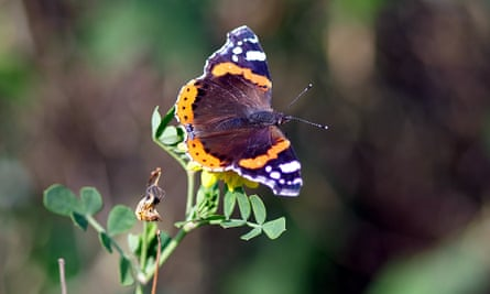 Red Admiral butterfly on 30 January.