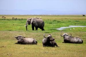 Elephant and Cape buffalo in Amboseli national park in Kenya