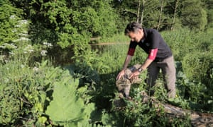 Steve Hussey from Devon Wildlife Trust inspects a tree felled by beavers on the river Otter.