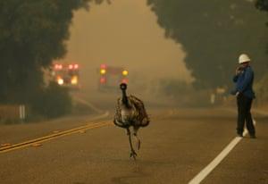 An emu runs to escape an approaching wildfire near Potrero, California, US