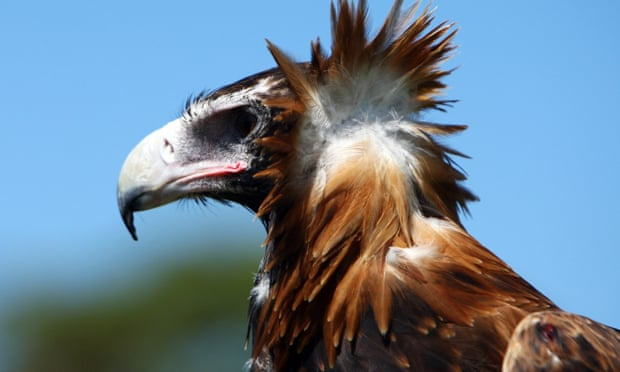 Victorian woman charged with animal cruelty after almost 130 wedge-tailed eagles found dead