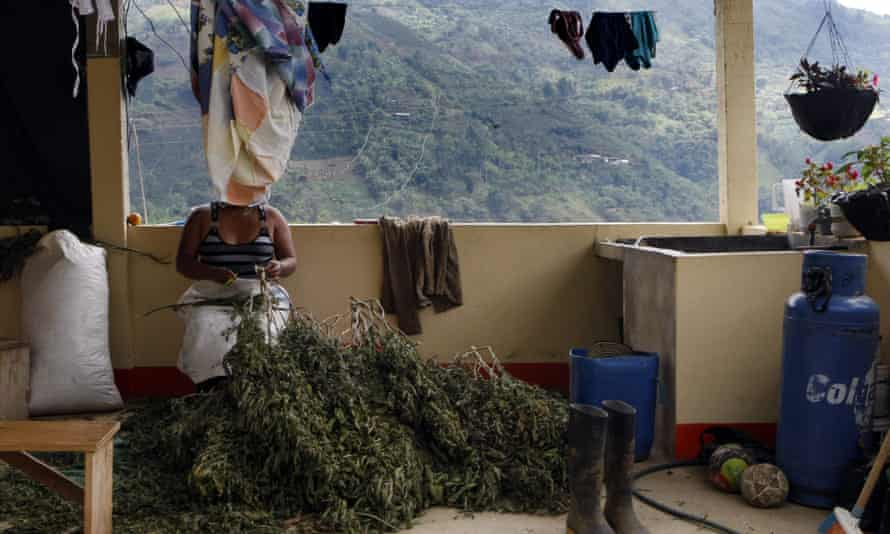 A woman cuts the leaves from several marijuana plants to sell in the rural zone of Corinto, Cauca, on 27 August 2016.
