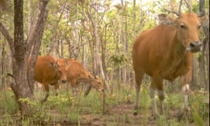 Banteng move across a camera trap in the dry forests of eastern Cambodia.