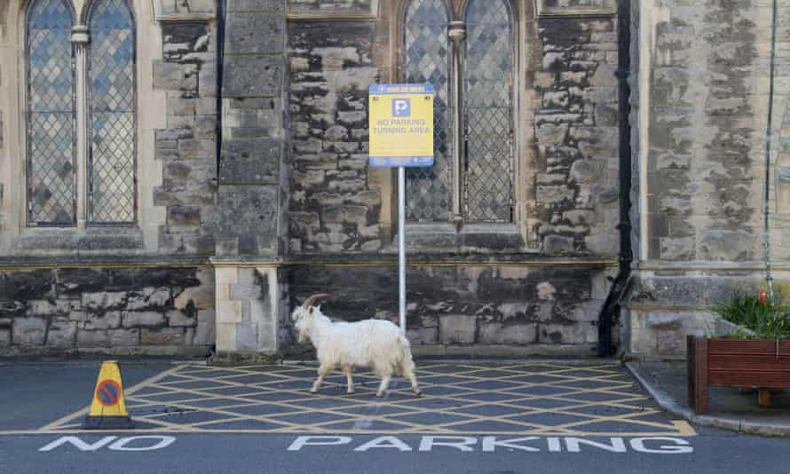 A goat is seen outside a church in Llandudno.