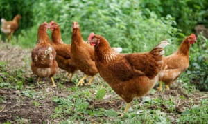 Isa Brown chickens – the most common egg laying hens