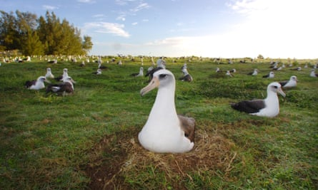 A field of nesting Laysan albatross at Midway Atoll, the world's largest nesting albatross colony.