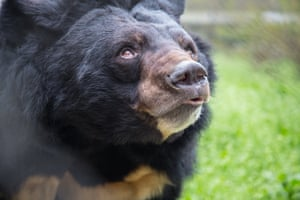 A rescued bear at one of Animals Asia Foundations sanctuaries in Vietnam