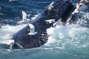 This whale has had a serious encounter with a propeller, leaving it with a serrated ridge of scars