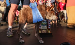 Quasi Modo, this year's winner, is pinned during the Worlds Ugliest Dog Contest 2015 at the Sonoma-Marin Fair in Petaluma, California.