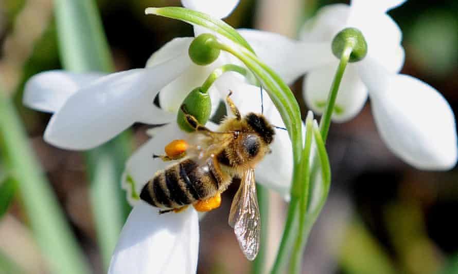 Honey bee on snowdrop