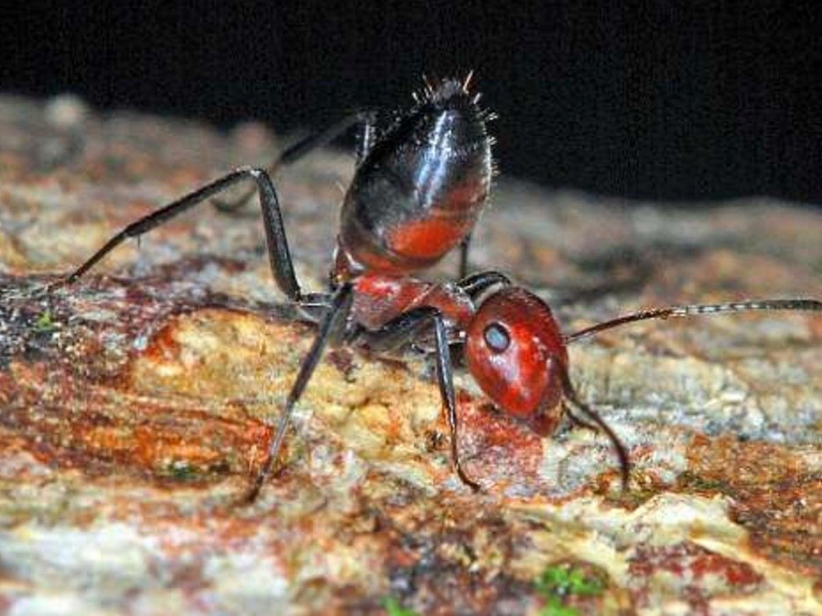 Self Destructive Species From Exploding Ants To Postnatal Octopuses Animal Behaviour The Guardian
