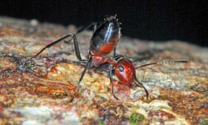 A Colobopsis explodens ant.