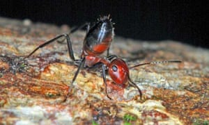 The Colobopsis explodens ant, a new species discovered in Borneo, which explodes when threatened.