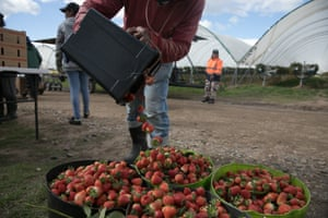 A seasonal worker tips strawberries into a bucket