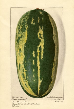 Watercolour of a marrow from An Illustrated Catalogue of American Fruits and Nuts, published by Atelier Editions.