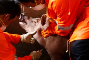 Blood samples taken from pigs for ASF testing east of Manila. ASF was confirmed in the Philippines on 14 September.